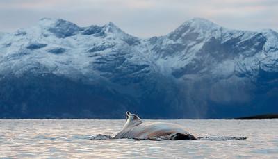 Humpback whale (Megaptera novaeangliae). Kvaløya, Troms, Norway