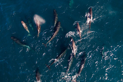 Pod of Long-finned Pilot Whale (Globicephala melas) photographed from air. Andfjorden, Andøya, Norway.