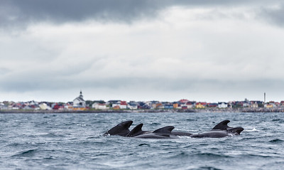 Long-finned Pilot Whale (Globicephala melas). Outside Andenes village, Norway.