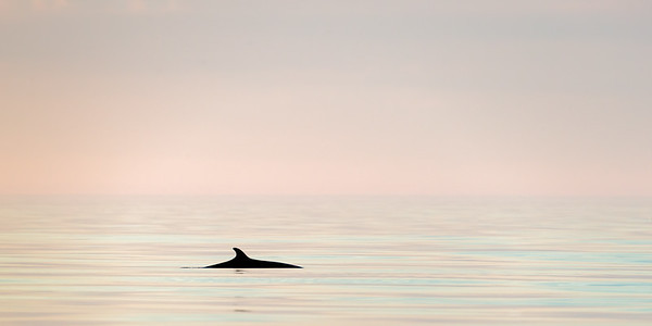 Minke whale (Baelanoptera acutorostrata)  photographed just before midnight. Outside Andøya, Nordland, Northern Norway.