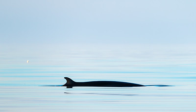 Minke whale (Baelanoptera acutorostrata)  photographed just before midnight. Outside Andøya, Northern Norway.