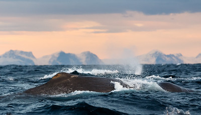 Sperm whale (Physeter macrocephalus). Outside Andøya, Norway.