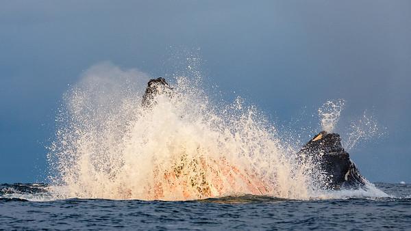 Humpback whale (Megaptera novaeangliae) feeding on herring. Kvaløya, Troms, Norway