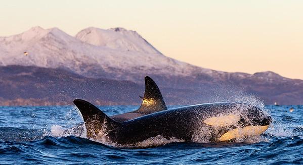 Killer whale (Orcinus orca). Kvaløya, Troms, Norway.