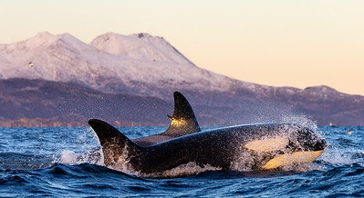 Killer whale (Orcinus orca). Kvaløya, Troms, Norway.