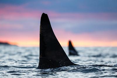 Killer whale / Blackfish (Orcinus orca). Kvaløya, Troms, Norway.