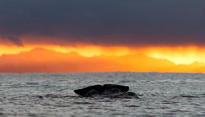 Killer whale / Blackfish (Orcinus orca).