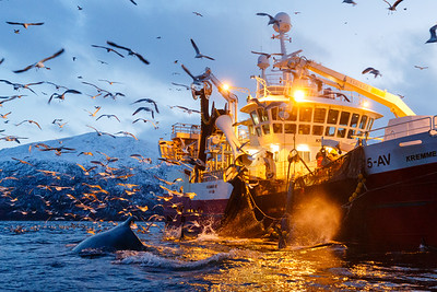 Humpback whale (Megaptera novaeangliae) and fishing vessel. The fishing wessel have many tonnes of herring in the net, and the whales are feeding on herring escaping the net. The whales can even attack the net to get out fish. Outside Kvaløya, Norway.