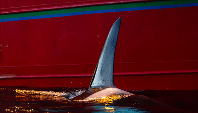 Killer whales  (Orcinus orca) and fishing vessel. The fishing wessel have many tonnes of herring in the net, and the whales are feeding on herring escaping the net. The whales can even attack the net to get out fish. Outside Kvaløya, Norway.