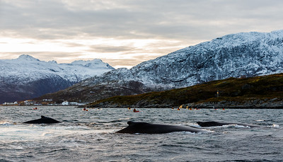 Kayakers getting close contact with a Humpback whale (Megaptera novaeangliae). Kvaløya, Troms, Norway