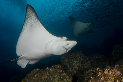 Spotted Eagle Ray.