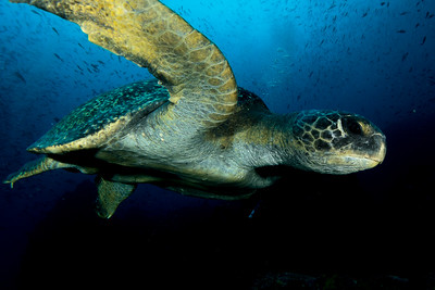 Flying Green Turtle.