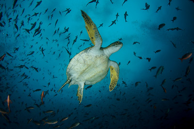 Small green turtle with a beautiful background full of fishes