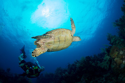 A diver takes a close look at a hawksbill turtle