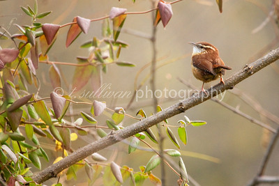 A Carolina Wren rests briefly on a branch.