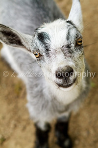 A baby goat at Magnolia Plantation, Charleston SC