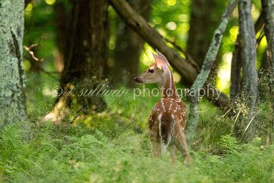 A fawn pauses in sunlit woods before following after its mother.