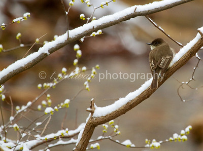 An Eastern Phoebe rests on a snow covered branch in early Spring.