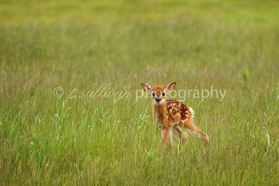 A tiny newborn fawn ventures out for the first time. Big Meadows, Shenandoah National Park.