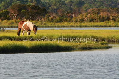 Wild horse of Assateague Island.