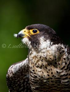Peregrin falcon portrait