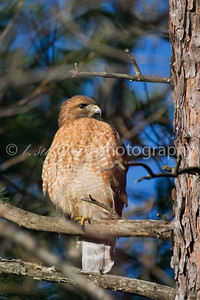 A Red Shouldered Hawk perched on a branch surveys the area for prey.