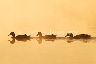 Mallard ducks swimming across Lake Shenandoah at Sunrise.