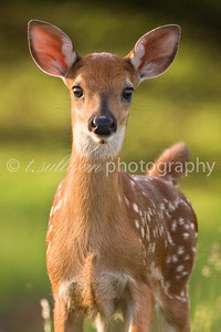 A young fawn looks surprised to see me. Big Meadows, Shenandoah National Park.