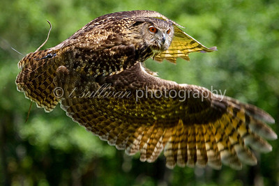 A rehabilitated Eurasian Eagle Owl in flight