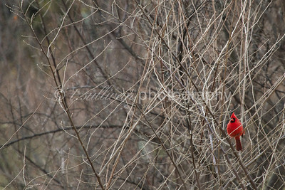 A northern cardinal provides much needed color in a dreary winter landscape.
