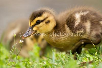 A mallard duckling, less than one week old.