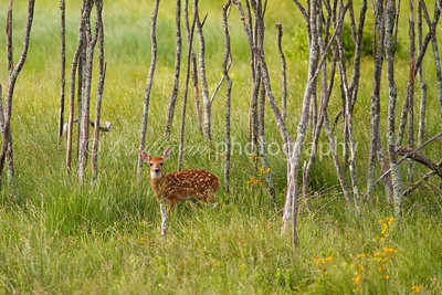 White-tailed deer fawn at Big Meadows in Shenandoah National Park