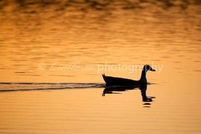 A mallard duck swims across Lake Shenandoah reflecting the warm colors of sunrise.
