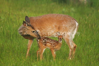 A white-tailed deer and her fawn.