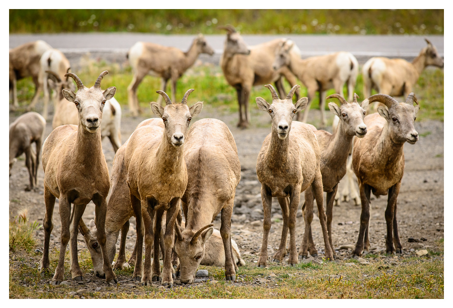 Small herd of bighorn sheep in Kananaskis