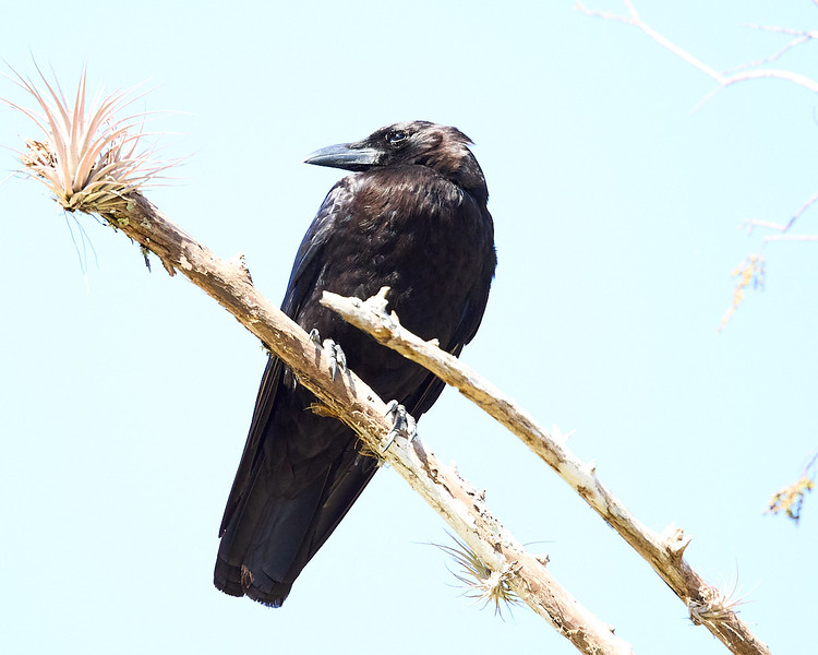 American Crow #1a