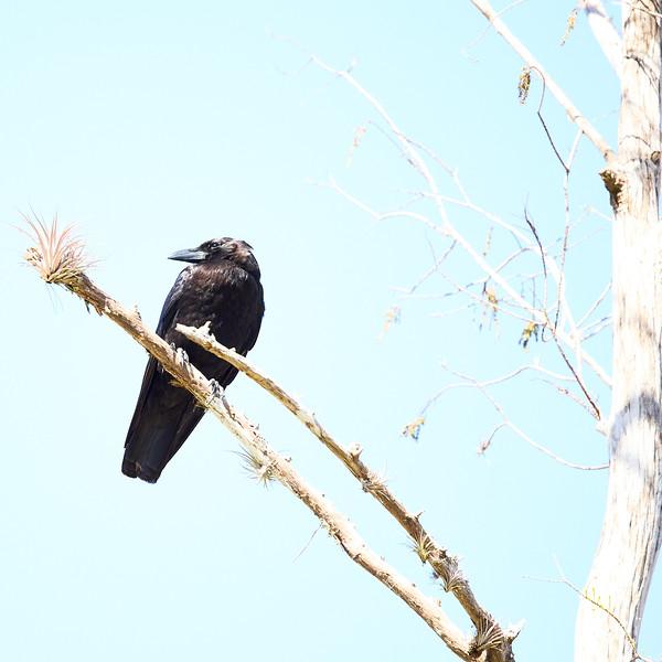 American Crow #1
