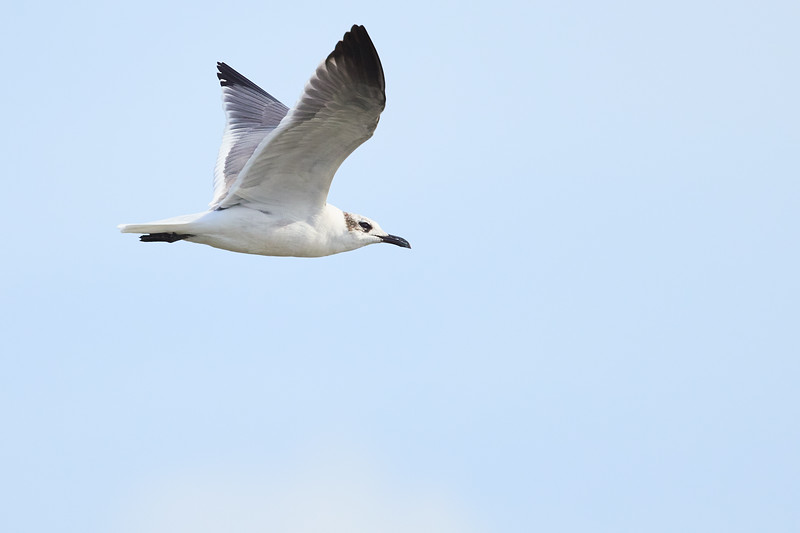Forsters Tern #1