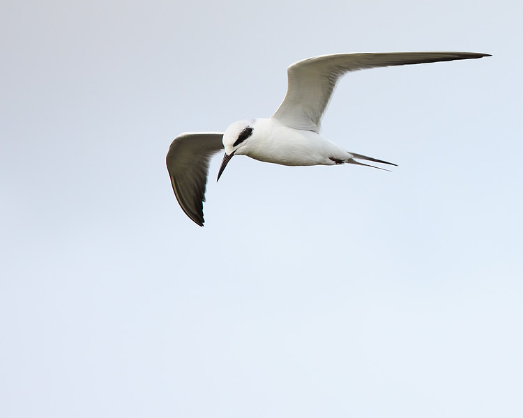 Forsters Tern #2