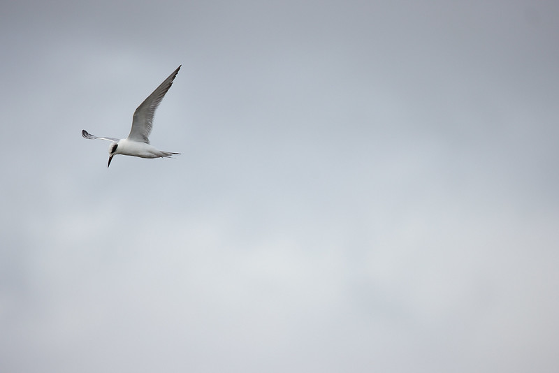 Forsters Tern #3