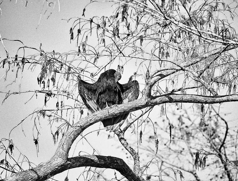 Turkey Vultures #2