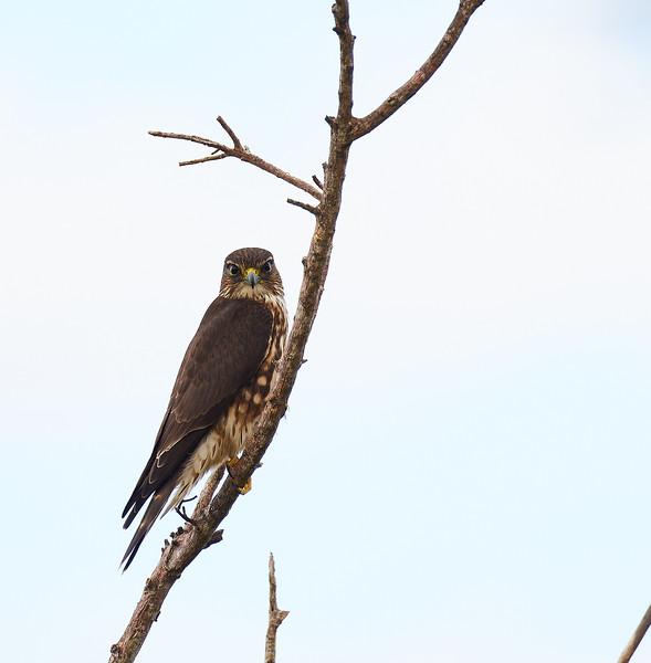 Red Shouldered Hawk #2