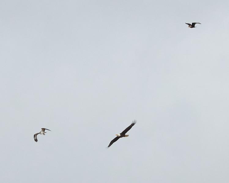Osprey, Eagle, Cara Cara