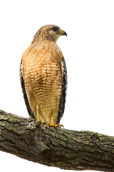 Red Shouldered Hawk #4