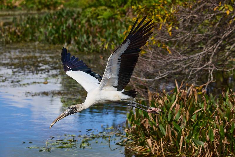 Wood Stork #3