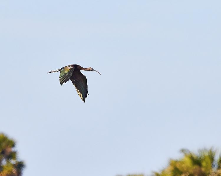 Glossy Ibis #1
