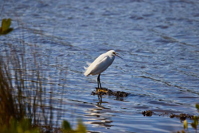 Snowy Egret #4