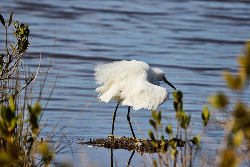 Snowy Egret #2