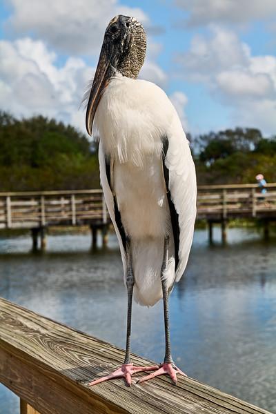 Wood Stork #9