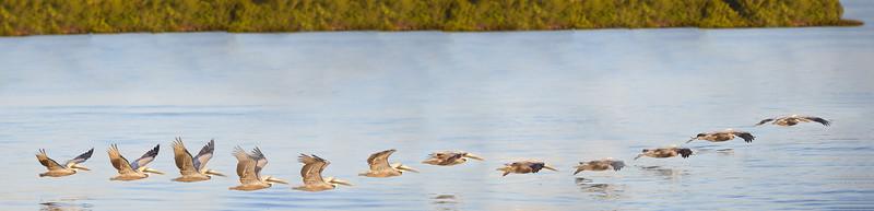 One Flying Brown Pelican